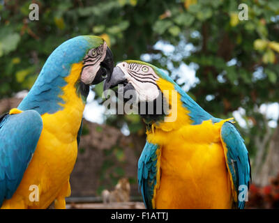 Pair of Yellow and Blue Macaws showing affection - Stock Photo