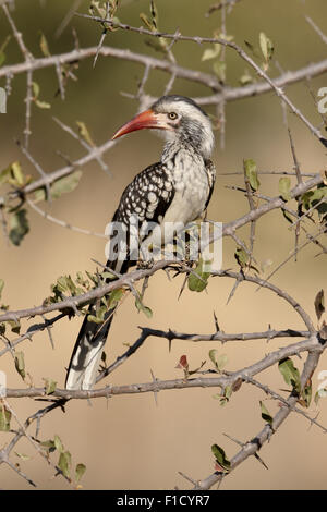 Red-billed hornbill, Tockus erythrorhynchus,  single bird on branch, South Africa, August 2015 - Stock Photo
