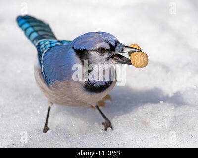 Blue Jay in the Snow with Peanut - Stock Photo