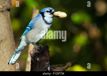 Blue Jay with Peanut in its Beak - Stock Photo