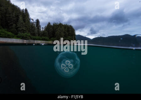 A split half and half shot showing the forest of Alaska with a moon jelly Aurelia aurita in the foreground underwater - Stock Photo