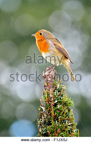 European Robin (Erithacus rubecula) sitting in a tree in Kensington Gardens, London - Stock Photo
