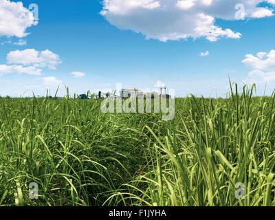 Komati Mill surrounded by cane fields, Tsb Sugar - Stock Photo