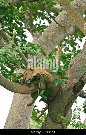 Queen Elizabeth National Park , Uganda. tree lion in a tree in Ishasha sector - Stock Photo