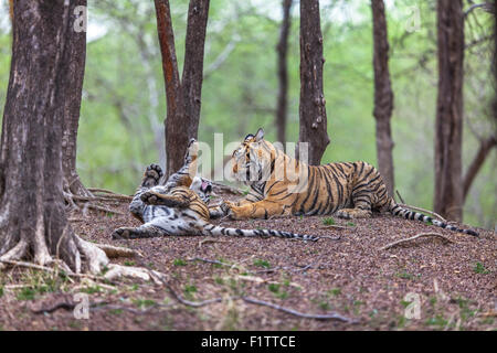 Bengal Tiger siblings in a Playful fight, at Ranthambhore forest. [Panthera Tigris] - Stock Photo