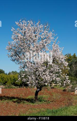 an almond tree in flower in a field, near Silves, the Algarve, Portugal - Stock Photo