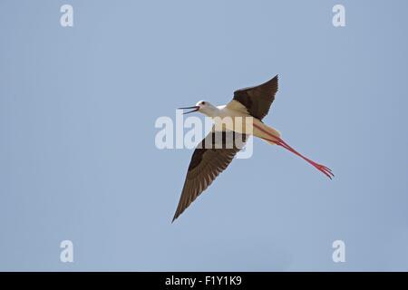 Morocco, Nador Lagoon, Black-winged Stilt (Himantopus himantopus) - Stock Photo