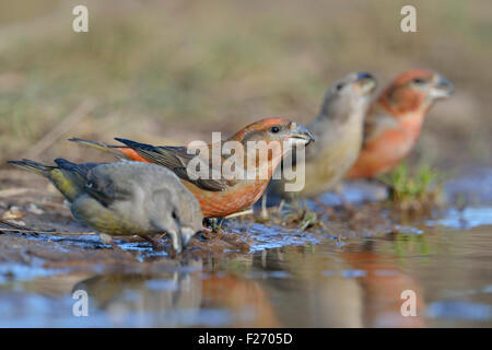 A flock of Parrot Crossbills / Kiefernkreuzschnaebel ( Loxia pytyopsittacus ) drinks at a natural puddle, low point - Stock Photo