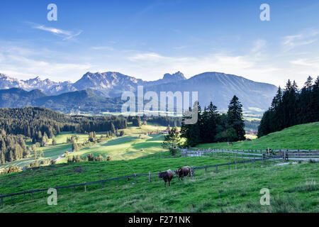 Bavarian Alps with cows grazing in lush farm meadow, Eisenberg, Eastern Allgaü, Bavaria, Germany - Stock Photo