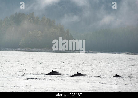 Humpback whales in Southeast Alaska. - Stock Photo