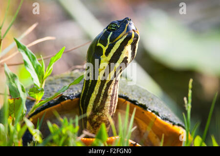 Close-up of a Florida Redbelly Turtle (Pseudemys Nelsoni), Merritt Island, Titusville, Brevard County, Florida, - Stock Photo