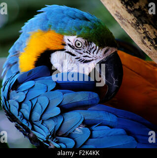 Bashful Macaw - Stock Photo