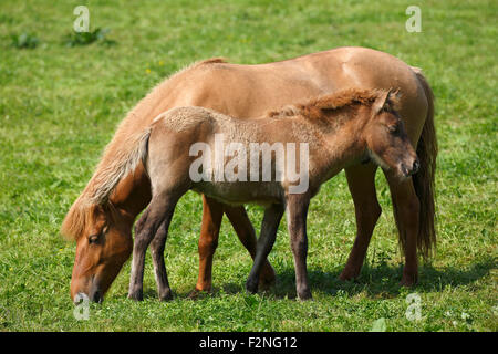 Foal and mare, Icelandic horse, pony (Equus przewalskii f. Caballus), Lower Saxony, Germany - Stock Photo