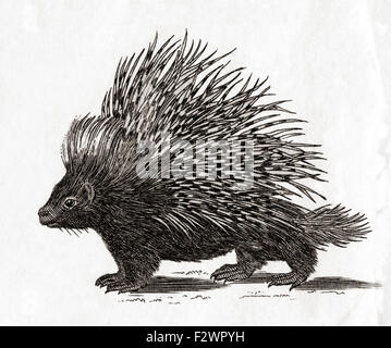 The crested porcupine (Hystrix cristata).  From an 18th century print. - Stock Photo