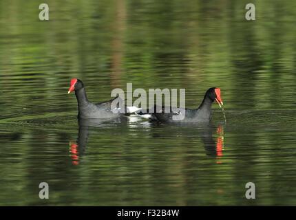 Common Gallinule (Gallinula galeata galeata) adult pair, feeding on lake, Atlantic Rainforest, Reserva Ecologica - Stock Photo