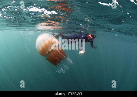 Barrel Jellyfish (Rhizostoma pulmo) adult, swimming near surface, with boy snorkelling, Kimmeridge Bay, Isle of - Stock Photo