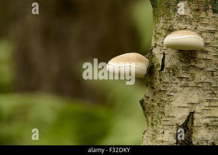 Birch Polypore (Piptoporus betulinus) fruiting bodies, growing on Silver Birch (Betula pendula) trunk, Cannock Chase, - Stock Photo