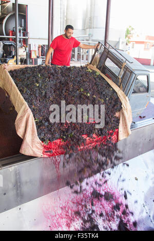 Grape destemming, Cooperativa Due Palme, San Cellino, Puglia, Italy - Stock Photo