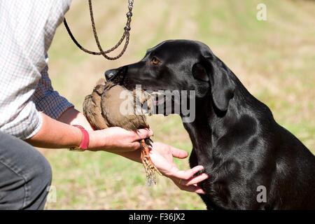 black labrador retriever giving partridge - Stock Photo