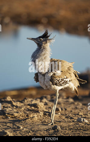 Kori bustard (Ardeotis kori), male displaying itself near a waterhole, Etosha National Park, Namibia - Stock Photo