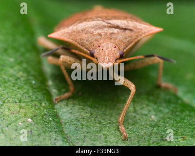 portrait of a brown marmorated stink bug straight on view - Stock Photo