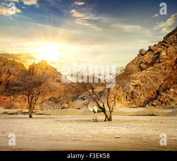 Camel in mountains of sand desert at sunset - Stock Photo