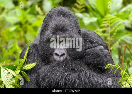 Mountain Gorilla (Gorilla gorilla beringei) large silverback male from the Sabyinyo group, portrait in thick vegetation - Stock Photo