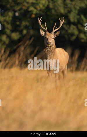 Red deer stag (Cervus elaphus) standing in field. - Stock Photo