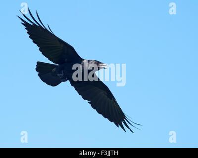 American Crow In Flight - Stock Photo