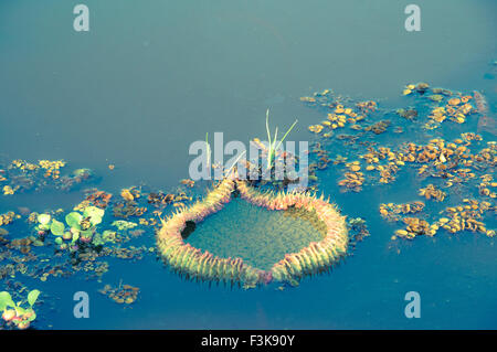 Immature Water Lily Pad, Giant Water Lily, Victoria Amazonica, formerly called Victoria Regia, Panantal, Mato Grosso, - Stock Photo