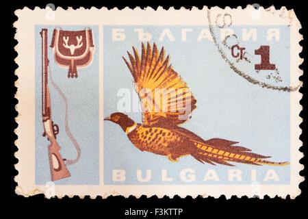 BULGARIA - CIRCA 1967: A postage stamp printed in Bulgaria shows a common pheasant, Phasianus colchicus, and a shotgun - Stock Photo