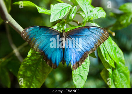 A blue morpho butterfly - Stock Photo