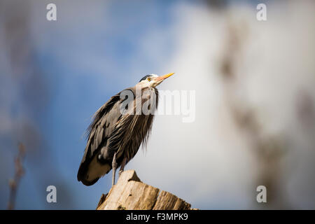 Great blue heron perched on a log. - Stock Photo
