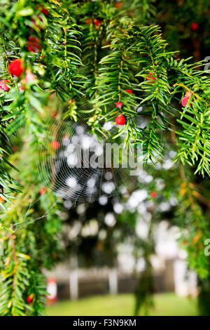 A close-up portrait format shot of berries and a cobweb on a yew tree. - Stock Photo