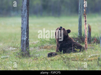 Brown bear, Ursus arctos, lying on a moss, sniffing in the air and looking in to the camera, Kuhmo, Finland - Stock Photo