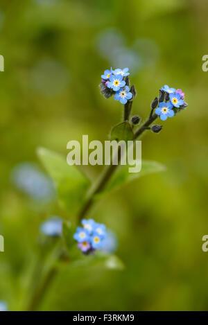 Field Forget-me-not, Myosotis arvensis, wildflower, Dumfries & Galloway, Scotland - Stock Photo