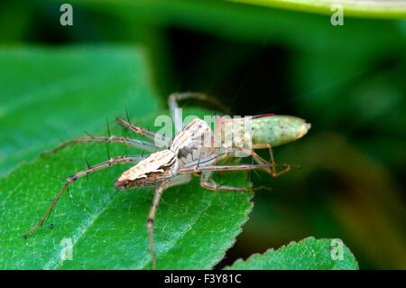A lynx spider predating on leaf - Stock Photo