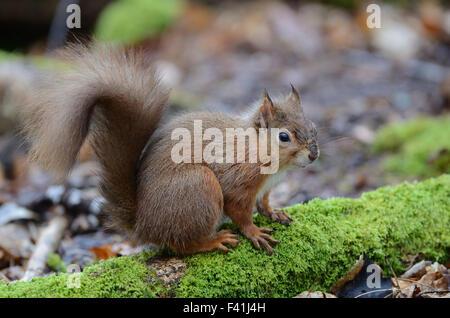 Adult red squirrel, alert posture. Brownsea Island, Dorset, UK February 2014 - Stock Photo