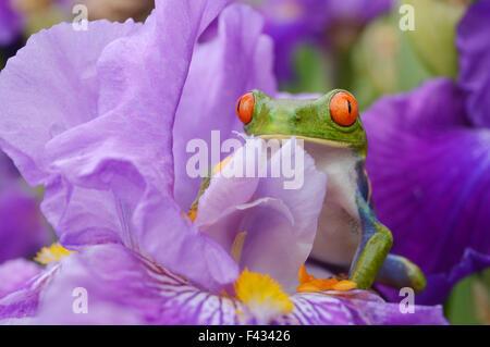 Red eyed tree frog (agalychnis callidryas) - Stock Photo