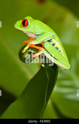 Red-eyed Treefrog (Agalychnis callidryas) on leaf, captive, from South America - Stock Photo