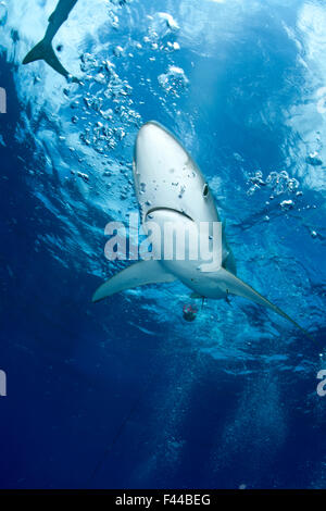 Great Blue shark (Prionace glauca) viewed from just below the surface, Pico Island, Azores, Portugal, Atlantic Ocean - Stock Photo