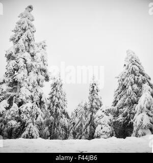 Pine trees covered with snow - Stock Photo