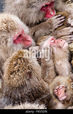 Japanese Macaque (Macaca fuscata) mothers grooming their babies in the hot springs of Jigokudani, Japan, February - Stock Photo