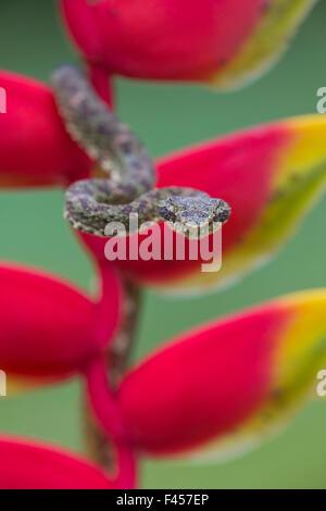 Eyelash Viper (Bothriechis schlegelii) on Heliconia (Heliconia rostrata) Costa Rica. - Stock Photo