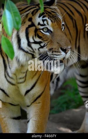 Malayan tiger (Panthera tigris jacksoni), Malaysia. Captive. An Endangered species, only around 500 remain  . - Stock Photo