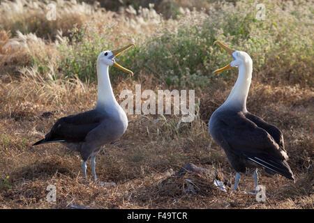 Waved Albatross pair (Phoebastria irrorata) courtship display - Stock Photo