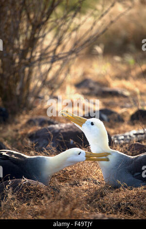 Waved Albatross pair (Phoebastria irrorata) courting - Stock Photo