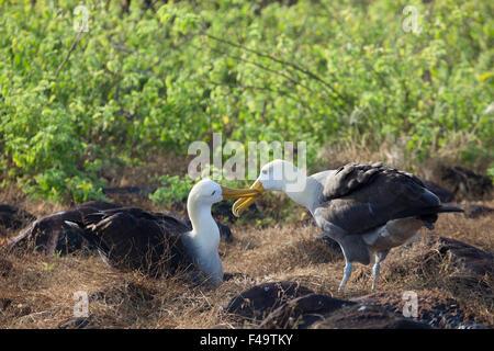 Waved Albatross  pair (Phoebastria irrorata) courtship ritual - Stock Photo