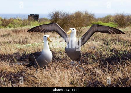 Waved Albatross (Phoebastria irrorata) courtship ritual dance - Stock Photo