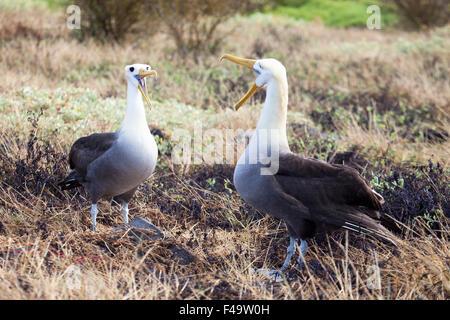 Waved Albatross pair (Phoebastria irrorata) courtship ritual display - Stock Photo